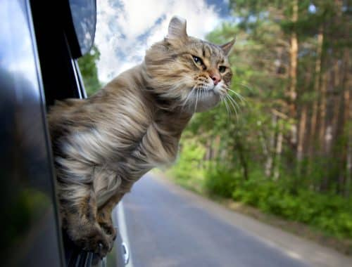Got a cat that needs travelling with? This short article will cover how to travel with your cat in various situations and distances.
